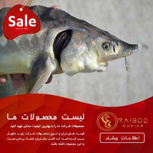 پخش ماهی خاویار خزر